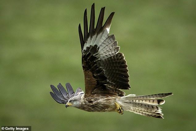 """Les magnifiques cerfs-volants rouges sont revenus du bord de l'extinction après que le projet de ait été qualifié de """"plus grand succès de l'histoire de la conservation écossaise"""". Le Red Kite, d'une envergure de 1,5 m, presque éteint il y a quelques décennies, peut vivre jusqu'à 30 ans. Il est à nouveau très répandu en Écosse, grâce à un programme de réintroduction pionnier mis en place en 1996."""